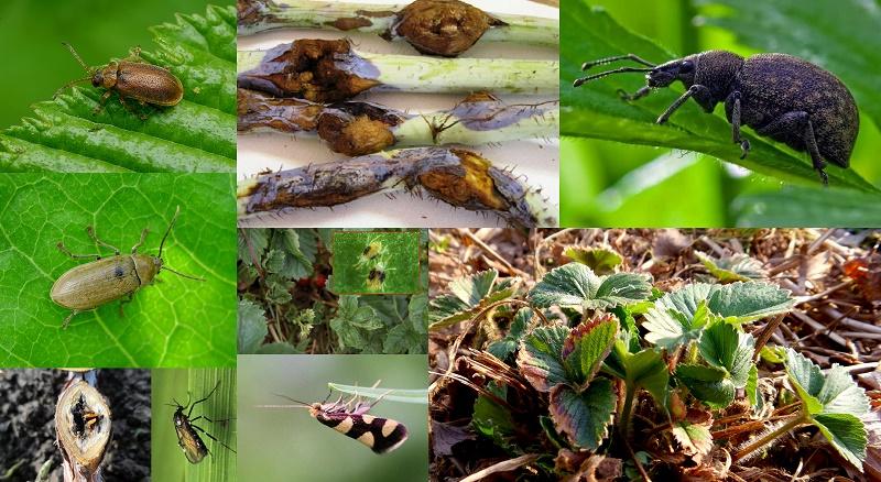 Шкідники малини, ожини, суниці  та полуниці (фото)