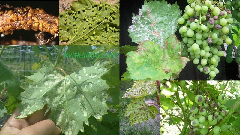 Хвороби та шкідники винограду. Фото