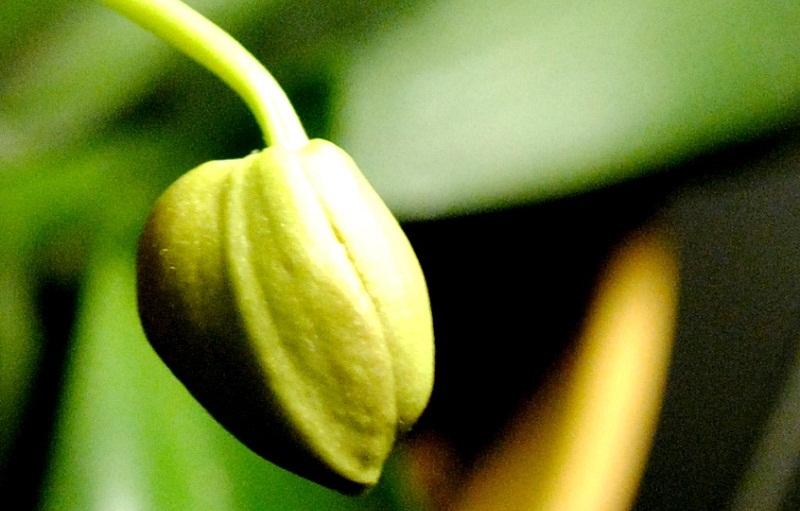 Шкідники орхідей, як з ними боротися
