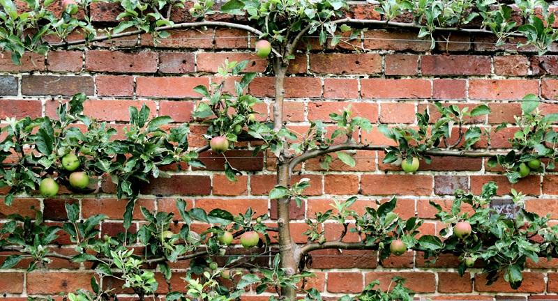 Як садити шпалерні дерева