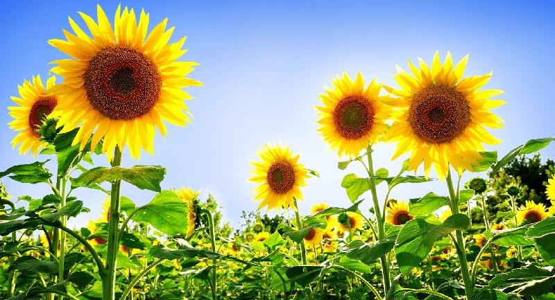 Соняшник: вирощування, догляд