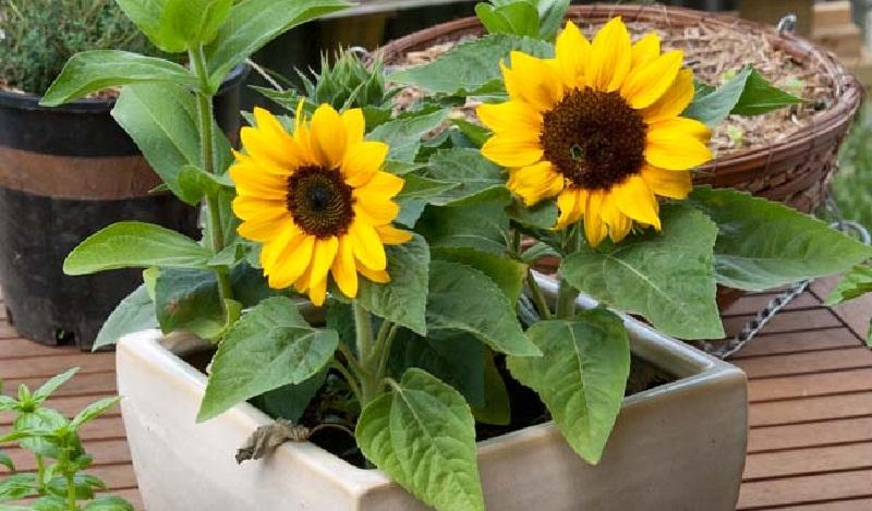 Соняшник: вирощування в контейнері. Види соняшника