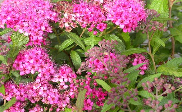spiraea_japonica_anthony_waterer.jpg (151.94 Kb)