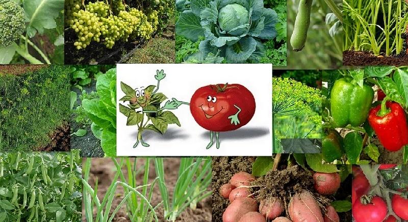 Які городні культури не можна садити поруч - поради садівникам