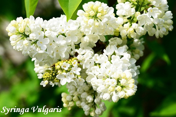 syringa-vulgaris.jpg (96.64 Kb)