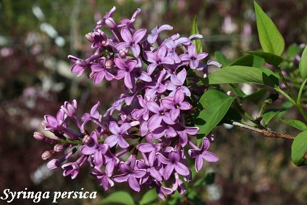 syringa_persica.jpg (125.17 Kb)