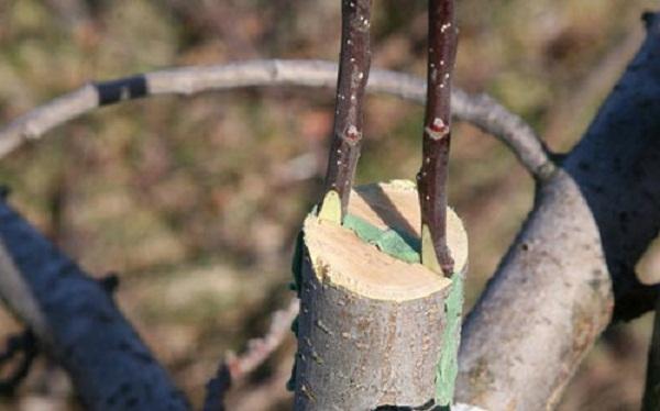Щеплення плодових дерев