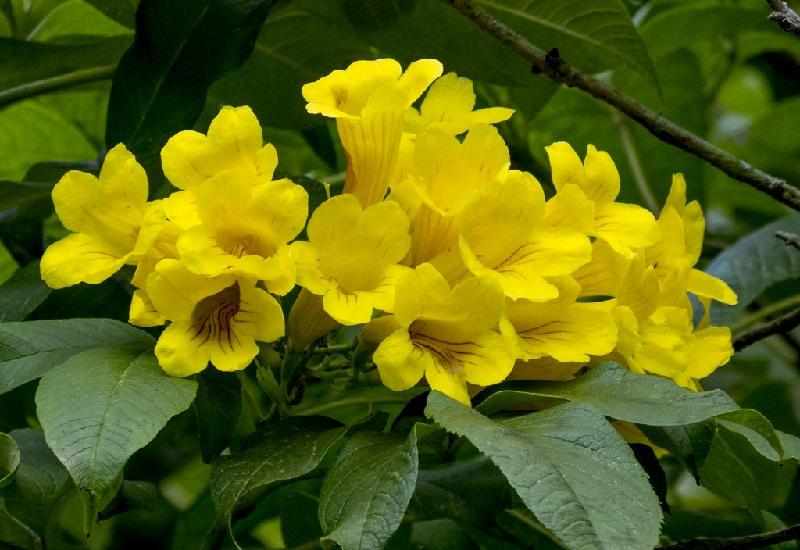 Текома прямостояча -вирощування, догляд
