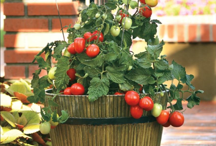 Як доглядати за кімнатним томатом. Вирощування
