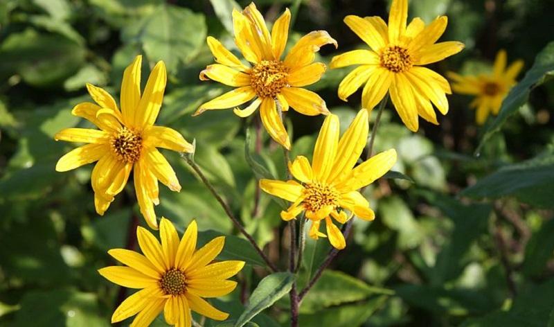 Цілющі рослини: топінамбур