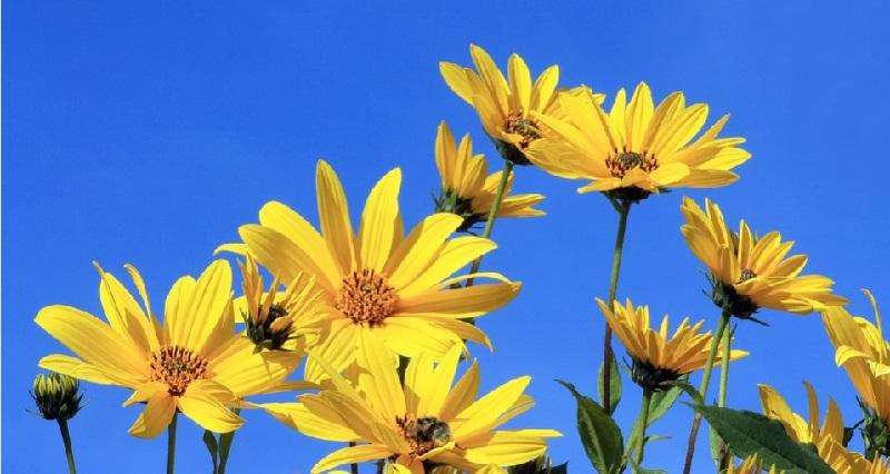 Топінамбур - вирощування, догляд