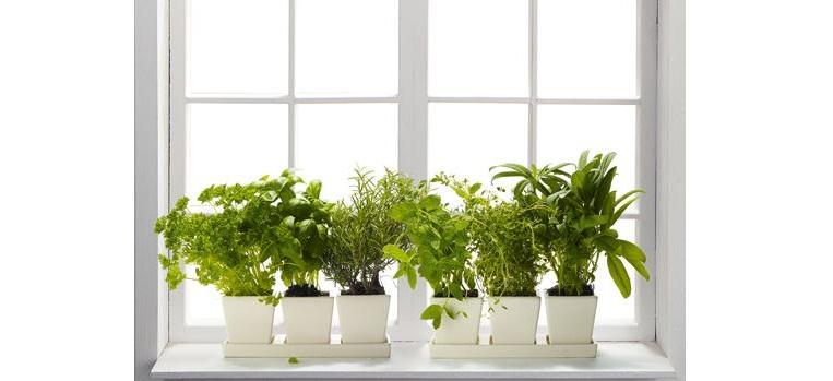 Вирощування зелені на підвіконнику