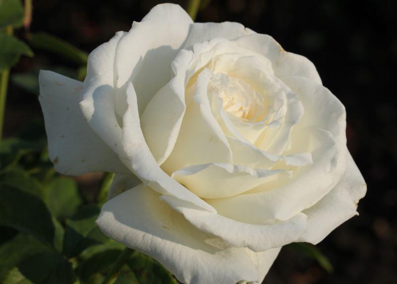 Сорт троянди «Анастасія»