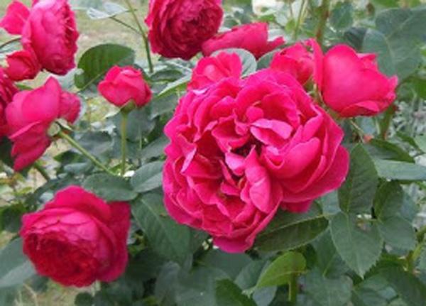 Сорт троянди «Аскот»