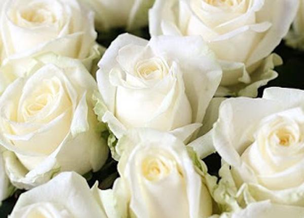 Сорт троянди «Аваланж»