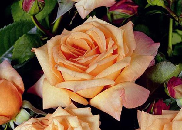 Сорт троянди «Бароко»