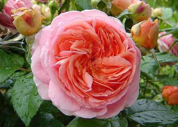 Сорт троянди Chippendale (Чіпендейл)