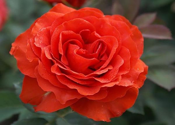 Сорт троянди El Toro (Ель Торо)