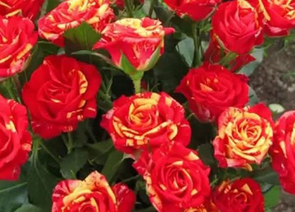 Сорт троянди Fire Flash (Фаєр Флеш)