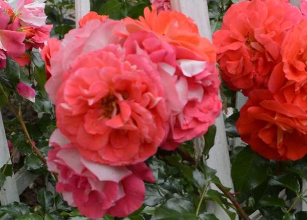 Сорт троянди «Гербрюдер Грімм»