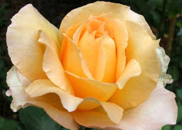 Сорт троянди «Казанова»