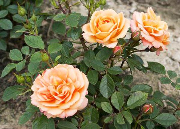Сорт троянди «Клементина»