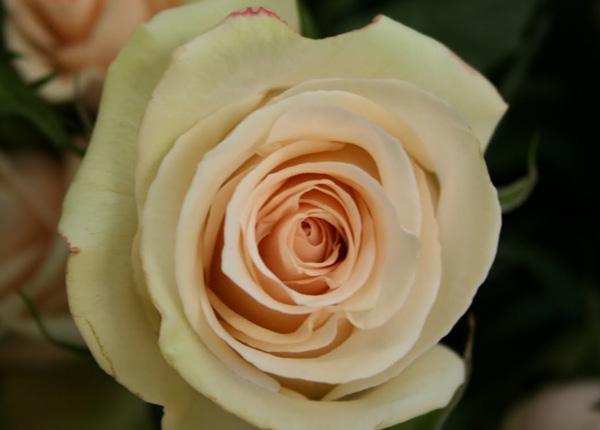 Сорт троянди La Perla (Ла Перла)