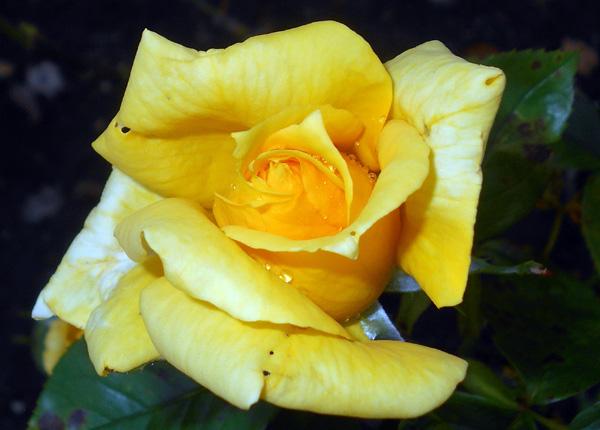 Сорт троянди «Ландора»