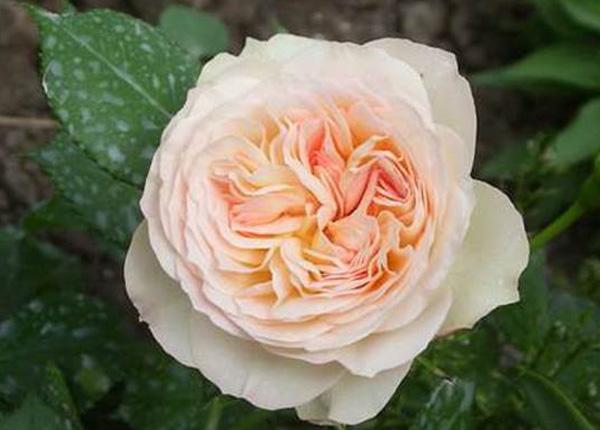 Сорт троянди Pastella (Пастелла)