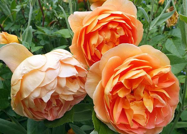 Сорт троянди «Пет Остін»