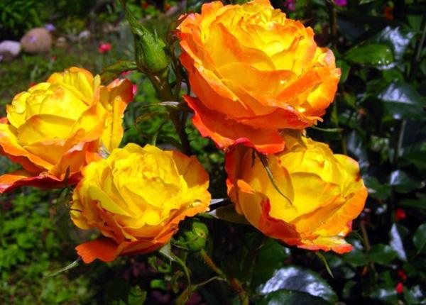 Сорт троянди «Румба»