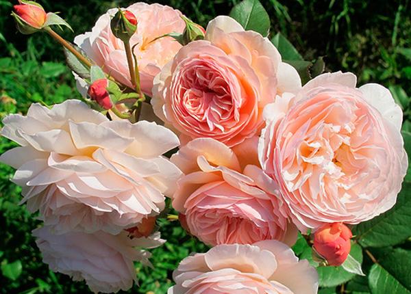 Сорт троянди A Shropshire Lad (Е Шропшир Лед)