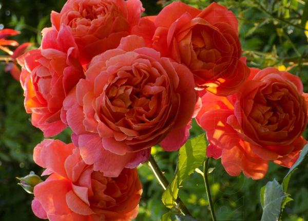 Сорт троянди Summer Song (Саммер Сонг)