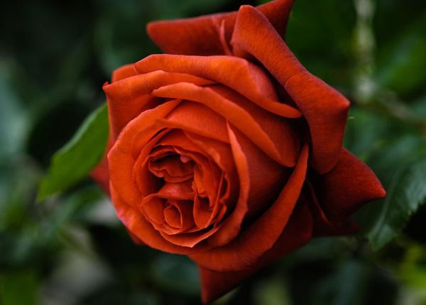 Сорт троянди Terracotta (Теракота)