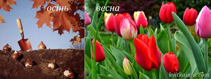 Коли садити тюльпани