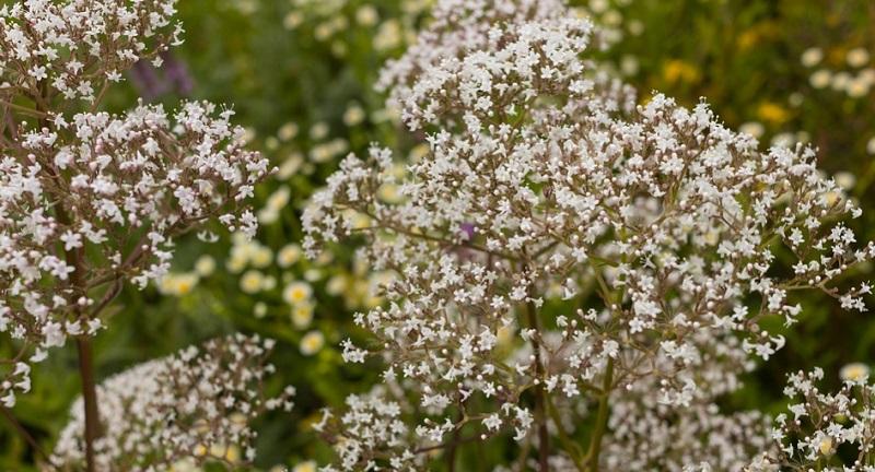 Цілющі рослини: валеріана лікарська