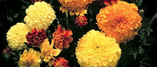 Чонобривці: види квітів чорнобривців