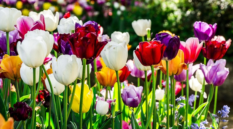 Тюльпани - види