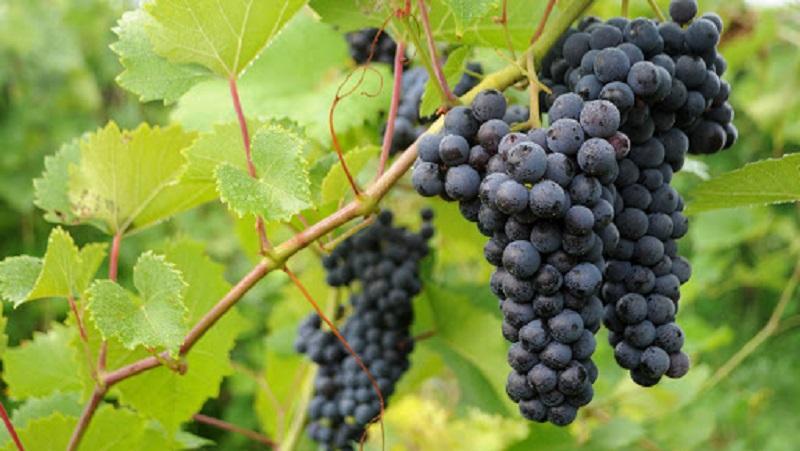 Догляд за виноградом влітку