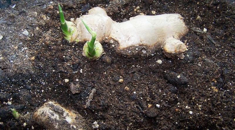 Вирощування імбиру у відкритому грунті