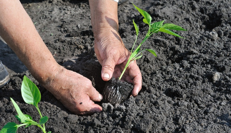 Як правильно висаджувати розсаду - підказки садівникам