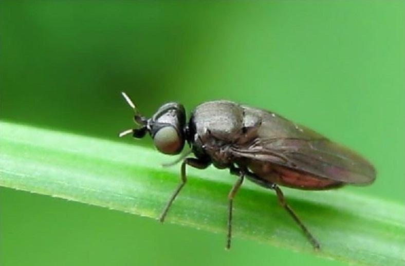 Вівсяна (ячмінна) шведська муха - ознаки появи, методи боротьби