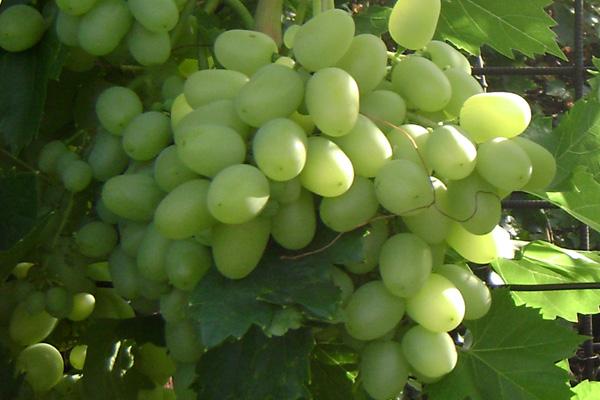 Виноград сорту Аркадія