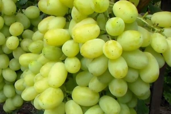"""Сорт винограду """"Флора"""" (Лора)"""