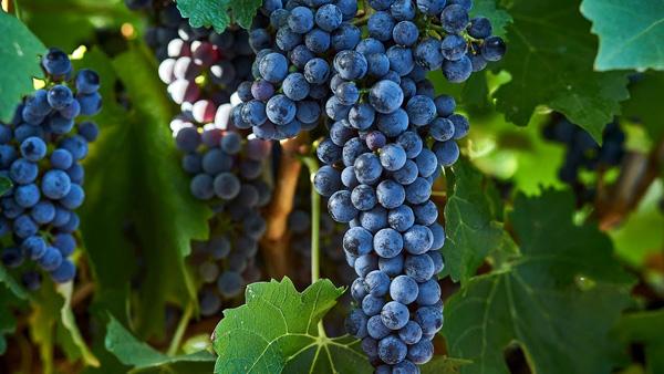 """Сорт винограду """"Каберне Совіньйон"""""""