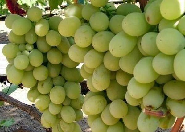 Сорт винограду «Кеша»