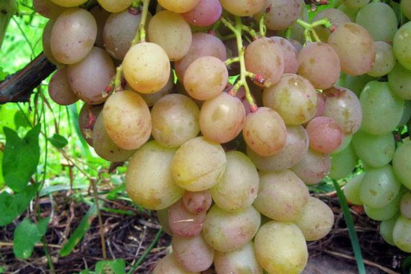 """Сорт винограду """"Хамелеон"""""""