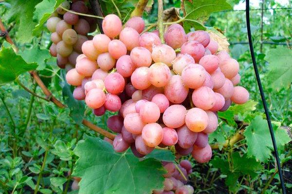 Сорт винограду «Лівія»