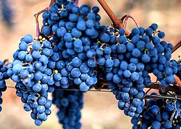 Сорт винограду «Мерло»