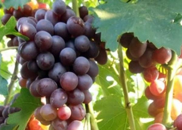 Виноград сорту Низина